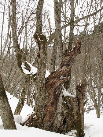 カツラの大木も凍える?