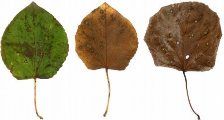 カツラの葉s.jpg