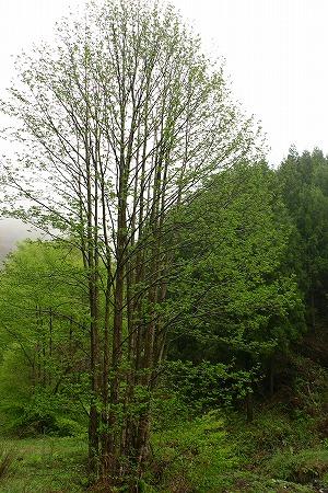 Pterocarya rhoifolia_all.jpg